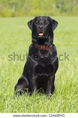 Black Labrador retriever portrait, sitting position, summer field - stock photo