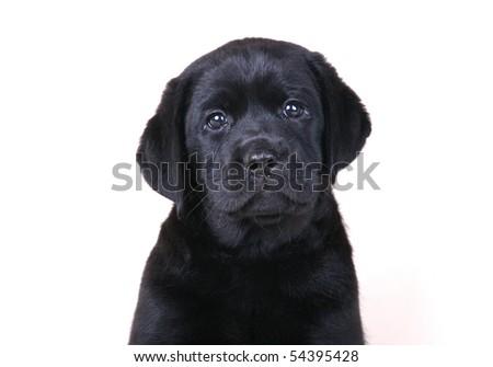 Black Labrador Retriever Puppy - stock photo