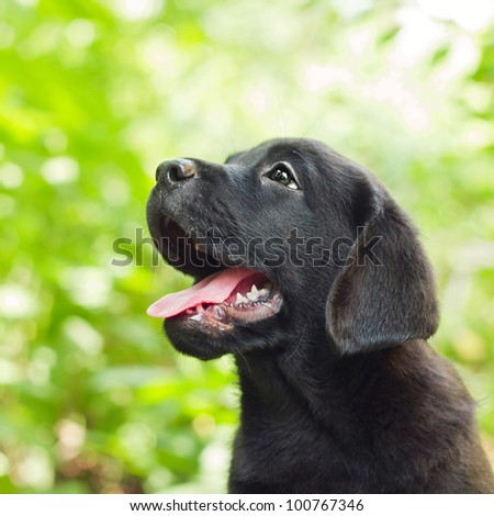 Black labrador retriever puppy in the yard (shallow dof) - stock photo