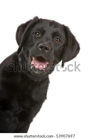 black labrador retriever puppy isolated on white
