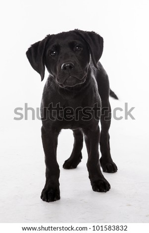 Black Labrador Retriever puppy sitting in front of white background - stock photo