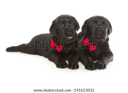 Black Labrador Retriever Puppy (4 week old, isolated on white background)