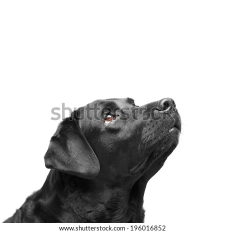 black Labrador Retriever seven years on a white background