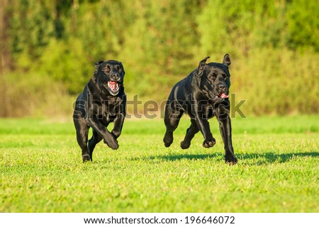 Black labrador running with a toy