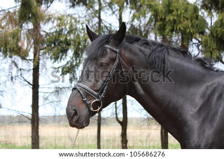 Black latvian horse portrait with bridle