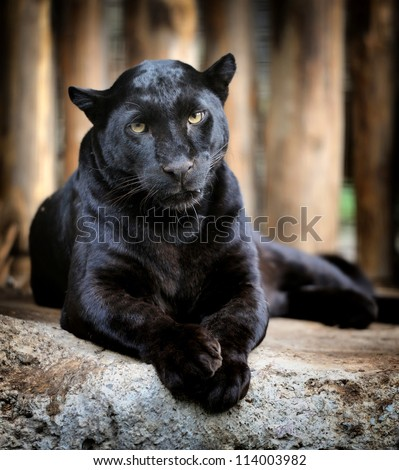 Black leopard - stock photo