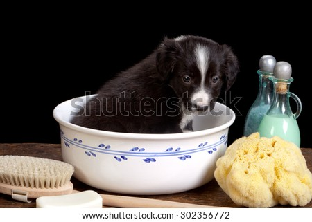 Black little border collie puppy in a white basin - stock photo