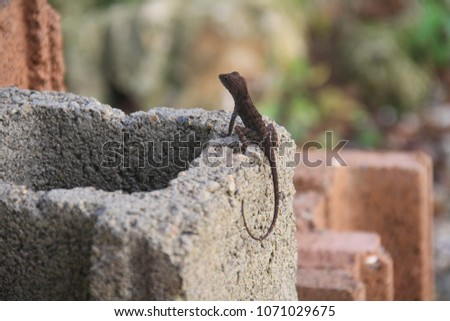 Black lizard gecko on a brick