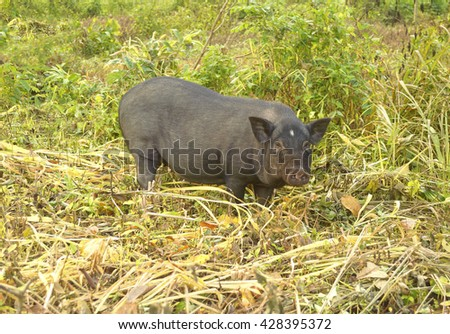 Black local breed of boar with finding food by self in natural. - stock photo