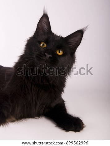 Black Maine Coon Cat on white background