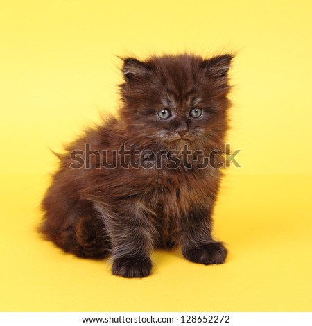 Black Maine Coon kitten on a yellow background - stock photo