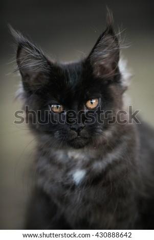 Black maine coon kitten outdoor portrait - stock photo