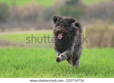 Black male Catalan Shepherd dog outdoors in a field with grass - stock photo