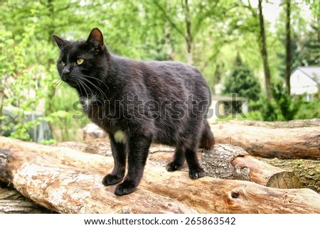 black male European Shorthair Cat  - stock photo