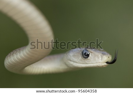 Black Mamba (Dendroaspis polylepis) snake using its tongue to smell its environment. South Africa - stock photo