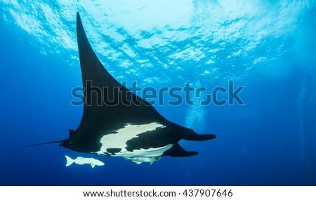 Black Manta Ray - stock photo