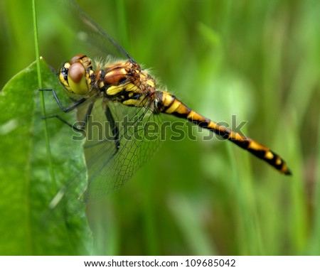 Black Meadowhawk dragonfly, Sympetrum danae Sulzer, seen throughout Alberta near marshes.  Size to 37 cm.  Note the pattern in the eyes in this picture - stock photo
