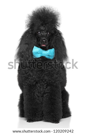 Black miniature poodle with blue bow sits on a white background