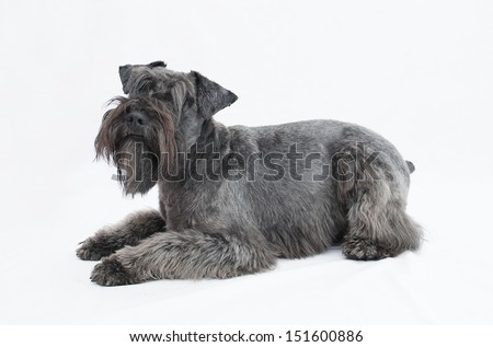 black miniature schnauzer in white background