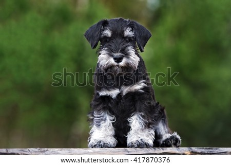 black miniature schnauzer puppy sitting outdoors - stock photo