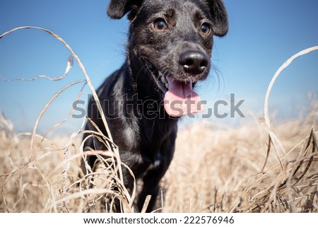 black mixed breed dog in yellow grass - stock photo