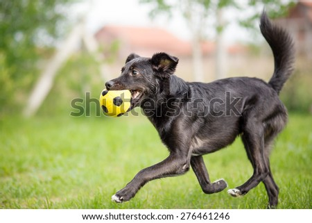 Black mixed breed dog playing with soccer ball - stock photo