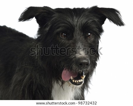 Black mixed breed portrait isolated on white - stock photo