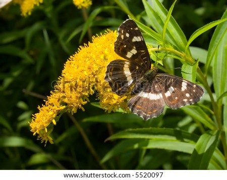 black monarch butterfly on the yellow flower - stock photo