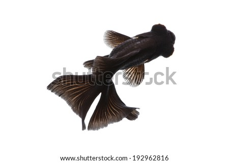 Black Moor Goldfish isolated top view on white background