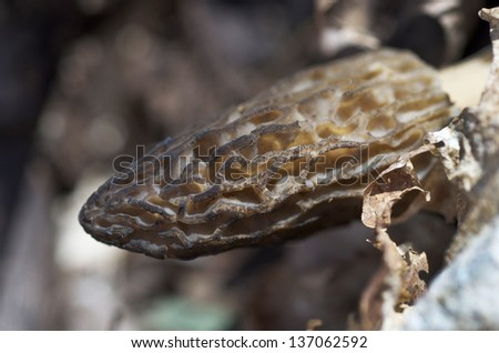 Black Morel Mushroom In It's Habitat