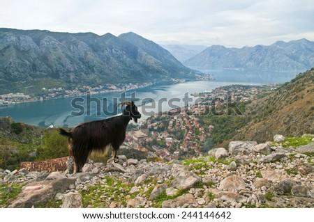 black mountain goat looking at landscape, Kotor, Montenegro - stock photo