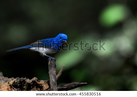 Black-naped Monarch  bird of Thailand sitting on tree limbat Kaeng Krachan National Park,Phetchaburi Province, Thailand - stock photo