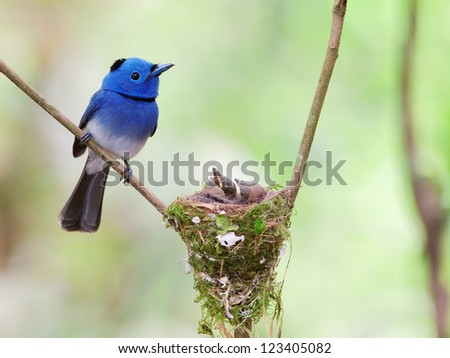 Black-naped Monarch(male) father and his chicks at the nest, Thailand - stock photo