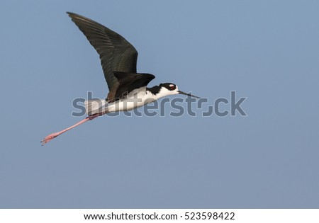 black-necked stilt (Himantopus mexicanus) flying, Galveston, Texas, USA.