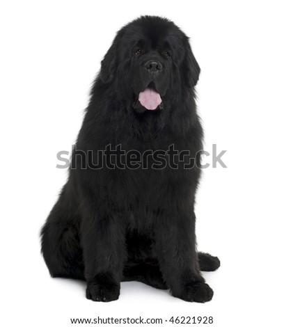 Black Newfoundland dog sitting in front of white background, studio shot - stock photo