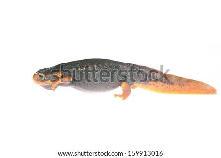 black newt Tylototryton verrucosus isolated on white - stock photo