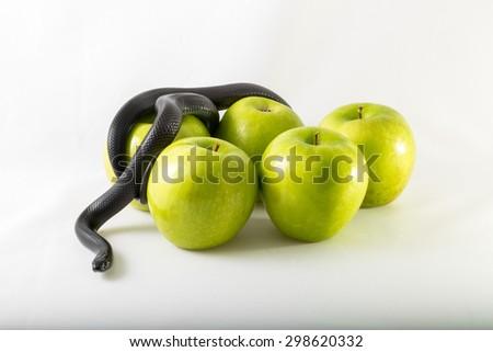 Black nigrita snake on green smith apples isolated, on white background, temptation concept, poison apples concept, original sin. - stock photo