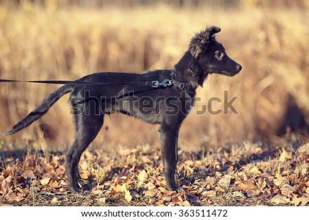Black not purebred puppy in sunny autumn day. - stock photo