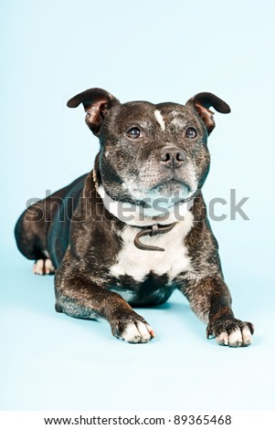Black old staffordshire isolated on light blue background - stock photo