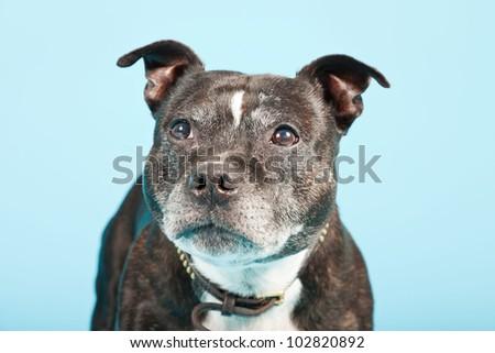 Black old staffordshire isolated on light blue background. Studio shot. - stock photo