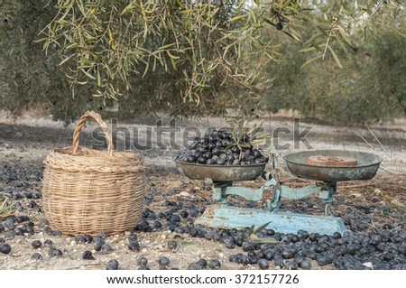 Black olives in a old-fashioned balance for olive oil - stock photo