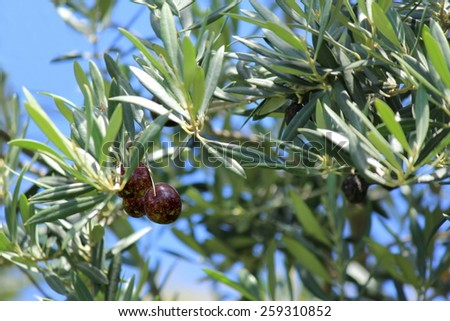 Black  Olives on tree with soft focus background 3 - stock photo