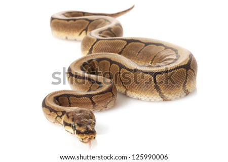 Black opal spider ball python (Python regius) isolated on white background.