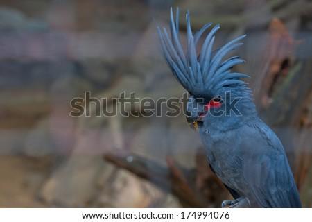 Black or Palm Cockatoo, face profile - stock photo