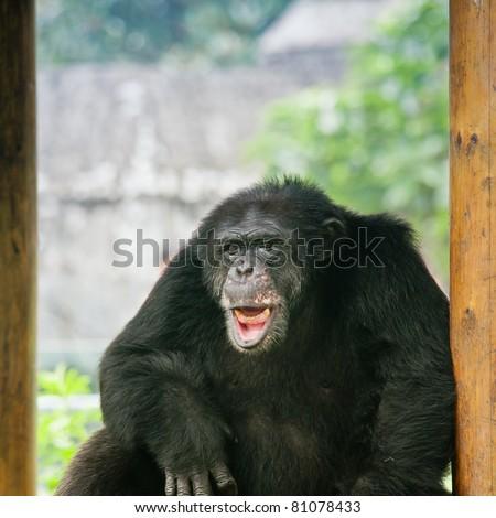 black orangutan smile - stock photo