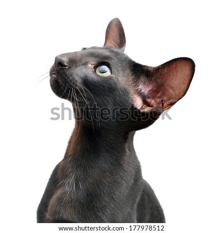Black oriental cat isolated - stock photo