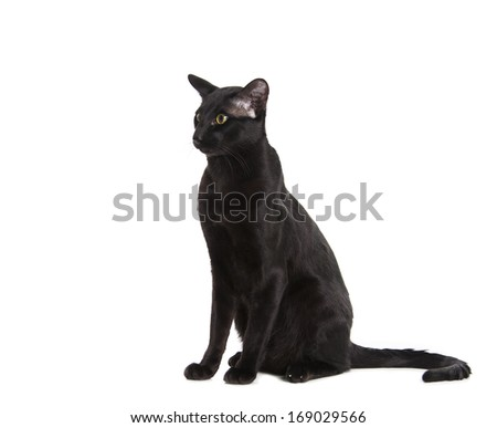 black oriental cat isolated over white background - stock photo