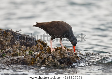Black Oystercatcher in search of food in the rocks as saltwater flows by