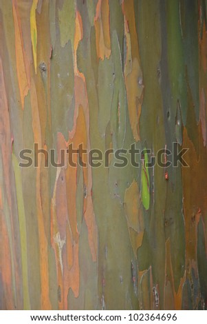 Black Peppermint Eucalyptus Tree Haleakala National Park - stock photo