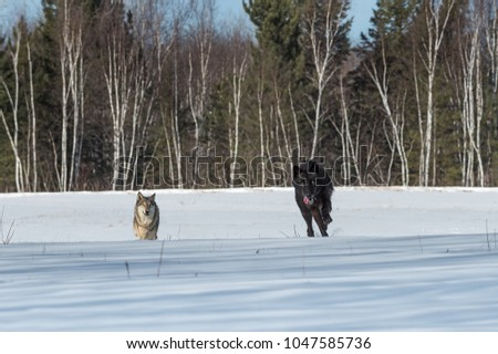 Black Phase Grey Wolf (Canis lupus) and Another Run Forward Through Field - captive animals
